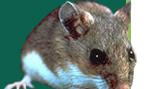 Photo of a Wood Rat